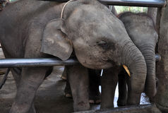 Baby elephants interacting. Two baby elephants are playing in the elephant park Stock Photos