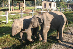 Baby Elephants - Nepal Royalty Free Stock Photo