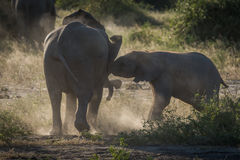 Baby elephants play fighting in dust cloud Stock Photos