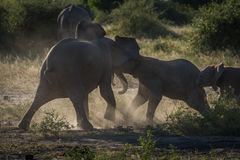 Baby elephants play fighting in dusty clearing Stock Images