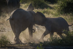 Baby elephants play fighting on dusty ground Stock Photo