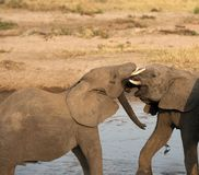 Baby elephants play fighting Stock Images