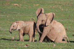 Baby Elephants Playing Royalty Free Stock Photo