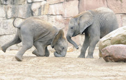 Baby elephants playing. With each other; captive; Berlin, Germany Royalty Free Stock Photos