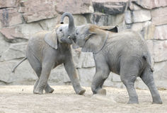 Baby elephants playing. With each other. Zoo in Eastern Berlin, Germany Royalty Free Stock Image