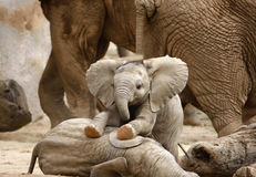 Baby Elephants Playing Stock Image