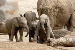Baby Elephants Playing Royalty Free Stock Images