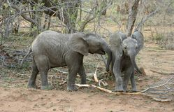 Baby elephants playing Royalty Free Stock Image