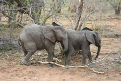 Baby elephants playing in a funny way in the Savanna. – South Africa stock images