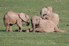 Baby Elephants Playing Games Stock Photography