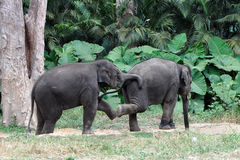Baby Elephants Playing. Two baby Asian elephants playing at Bannerghatta National Park in Bangalore, India Stock Image