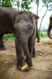Baby elephants plays and eats corn of the ground. Stock Photography