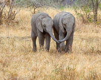 Baby Elephants, Tarangire National Park, Tanzania, Africa. Best Friends, Two baby elephants walking together side by side, trunks touching, in Tarangire National Royalty Free Stock Photo