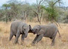 Baby Elephants, Tarangire National Park, Tanzania, Africa. Roughhousing, Two baby elephants roughhousing and having a good time in Tarangire National Park Royalty Free Stock Photography