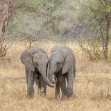 Baby Elephants, Tarangire National Park, Tanzania, Africa. Side-by-Side, Two baby elephants walking side-by-side in Tarangire National Park, Manyara, Tanzania Stock Photo