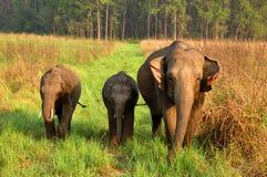 Baby elephants under mother care. Baby elephants under care and observation of mother elephant at Jim Corbett National Park, Nainital, India Royalty Free Stock Image