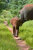 Baby elephants walking on path Royalty Free Stock Image