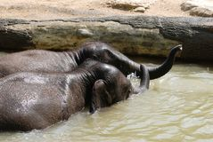 Baby elephants in water Royalty Free Stock Photos