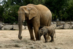 Baby Elephany Kito Stock Photography