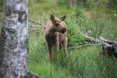 Baby elk Stock Image