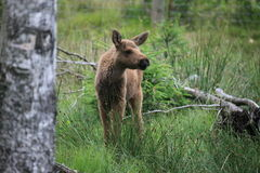 Baby elk Royalty Free Stock Photos