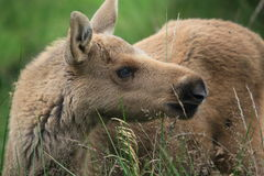 Baby elk Stock Photography