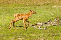 Free Baby Elk Royalty Free Stock Photo - 25281115