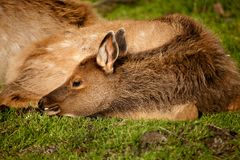 Baby Elk Calf Royalty Free Stock Photos