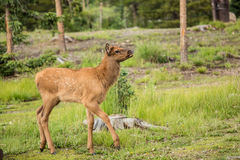 Baby Elk Calf In Colorado Royalty Free Stock Photo