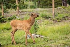 Baby Elk Calf In Colorado Royalty Free Stock Photo