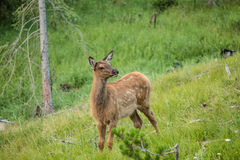 Baby Elk Calf In Colorado Royalty Free Stock Image