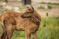 Baby Elk Calf In Colorado Close Up Stock Photos