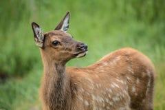 Baby Elk Calf In Colorado Close Up Royalty Free Stock Photo