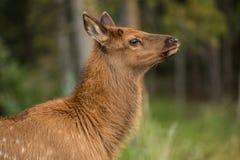 Baby Elk Calf In Colorado Profile Royalty Free Stock Image