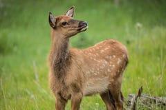 Baby Elk Calf In Colorado Profile Stock Photos