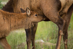 Baby Elk Calf Nursing On Mother Close Up Royalty Free Stock Images