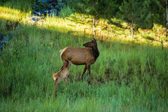 Baby Elk Calf Nursing On Mother Elk Colorado Royalty Free Stock Photo