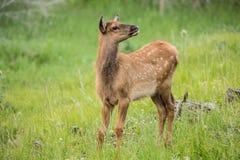Baby Elk in Colorado Stock Photography