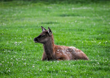 Baby Elk. A baby elk laying in a green pasture Royalty Free Stock Photos