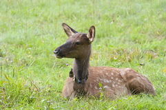 Baby elk with spots resting in green grass. Baby elk with spots in the wild Royalty Free Stock Photo