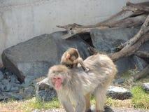 Baby en de aap van de mammasneeuw Stock Afbeelding