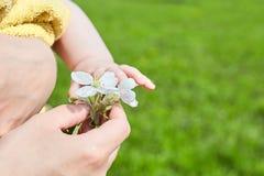 Baby en mamma De vrouwelijke hand houdt een witte bloem van de appelboom stock afbeelding