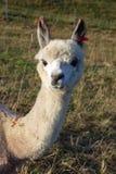 baby en ouders de dieren van de alpacafamilie stock afbeelding
