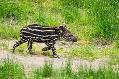 Baby of the endangered South American tapir. Nine days old baby of the endangered South American tapir (Tapirus terrestris), also called Brazilian tapir or stock photography