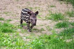 Baby of the endangered South American tapir Stock Image