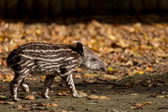 Baby of the endangered South American tapir Royalty Free Stock Photos