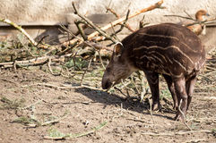 Baby of the endangered South American tapir Stock Images