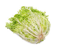Baby endive Stock Photography
