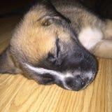Baby-Englisch-Mastiff Lizenzfreie Stockfotografie