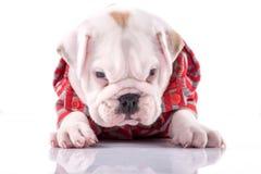 Baby English bulldog Stock Image